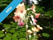 Primula florindae 'Mango' shades