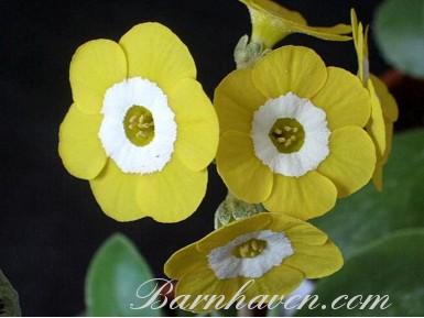 Primula auricula Brasso