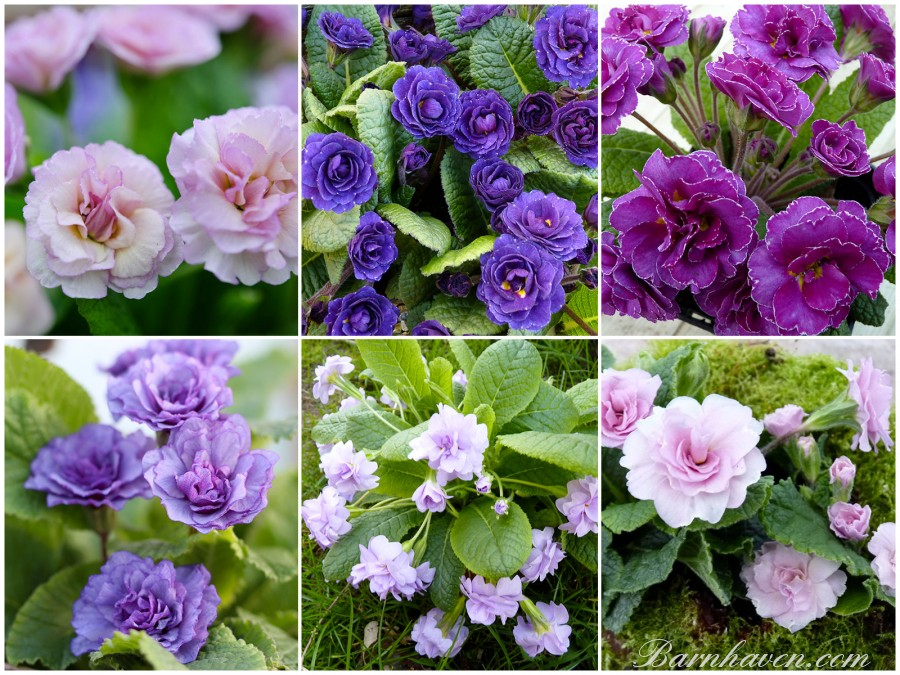 Gefüllte Primel lila, rosa, violett