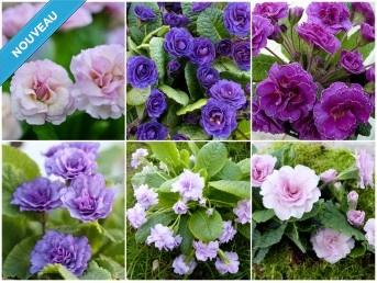 PRIMEVÈRES DOUBLES NOMMÉES - Collection de plantes mauve, rose, violet