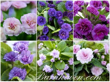 Collection of double primroses - purple, pink