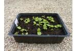 Substrat pour semis de primevères