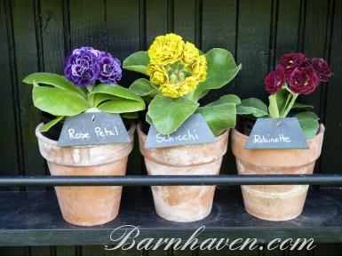 AURICULES DOUBLES - Kit de plantes