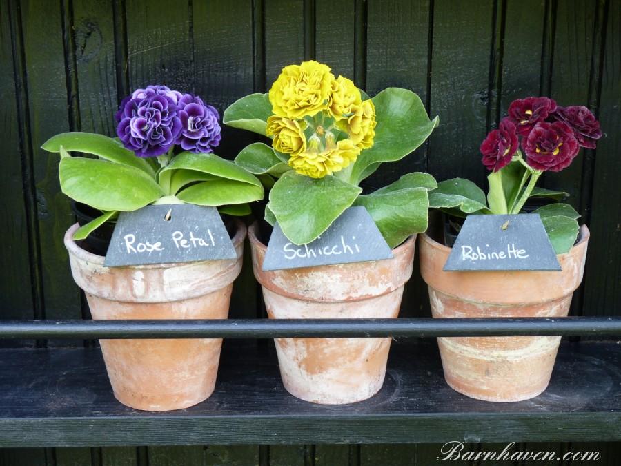 DOUBLE AURICULA - Plant kit