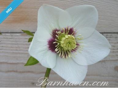 Helleborus x hybridus 'Barnhaven Hybriden'- Weiß/Creme mit roter Mitte