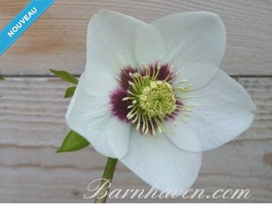Helleborus x hybridus 'Hybrides de Barnhaven' Blanc à cœur rouge