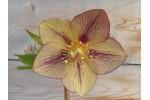 Helleborus x hybridus 'Hybrides de Barnhaven' Picotée Tons lumineux