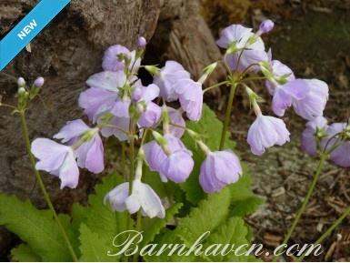 Japanese primrose Yomo no haru