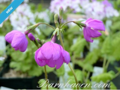 Japanese primrose Yûhi-beni