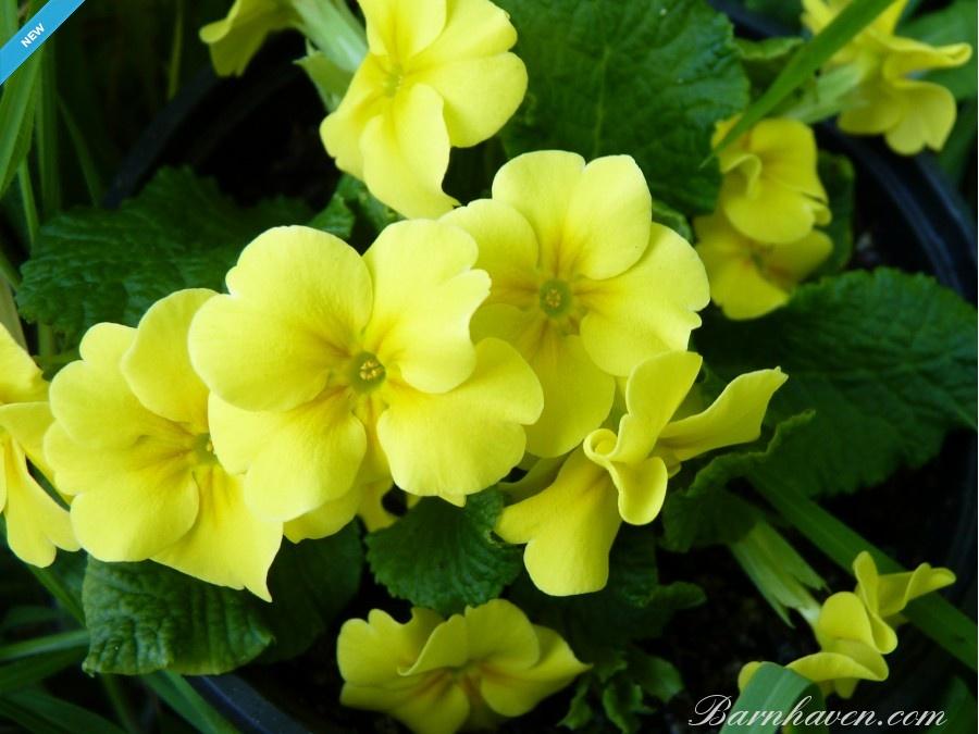 Primula Yellow Juliana