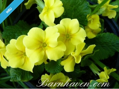 Kissenprimel Gelb