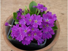 Primula allionii and hybrids