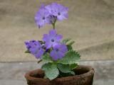 Primula marginata und Hybriden