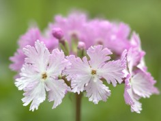 Sieboldii plants - Barnhaven strains