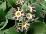 Striped Auriculas