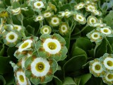Show Fancy Auriculas