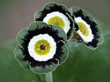 Auricules Show lisérées vert/gris/blanc