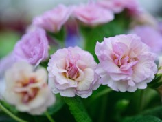 Named Double Primroses