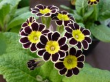 Polyanthus Gold Laced
