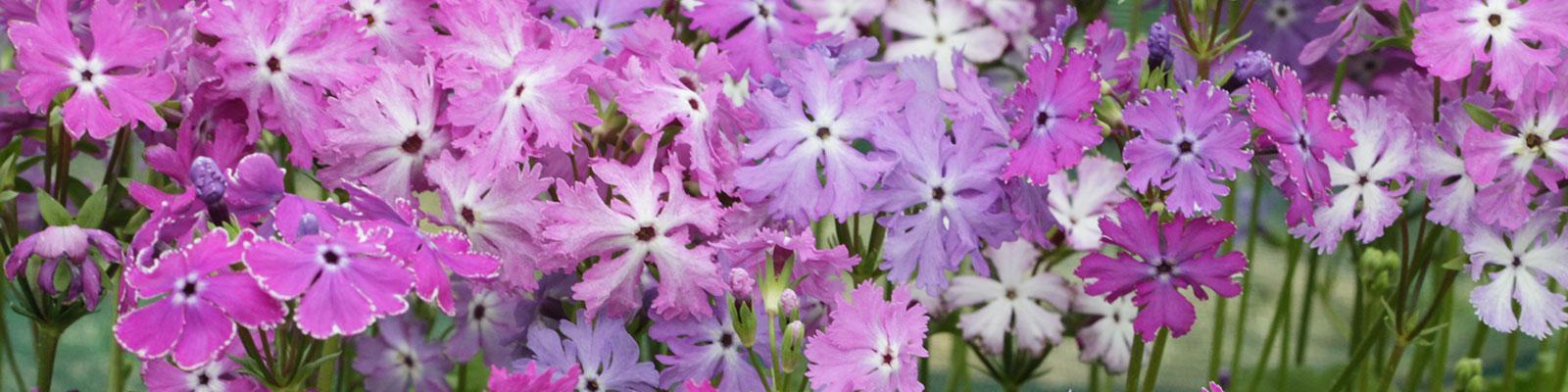 Asiatic Primula