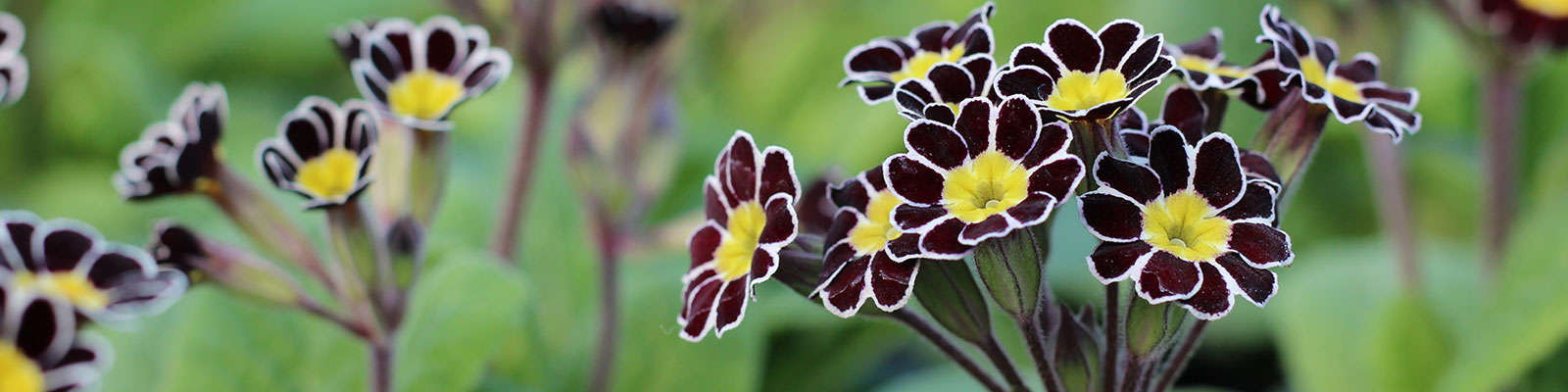 Gold Laced Polyanthus