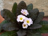 Kennedy Irish Primroses