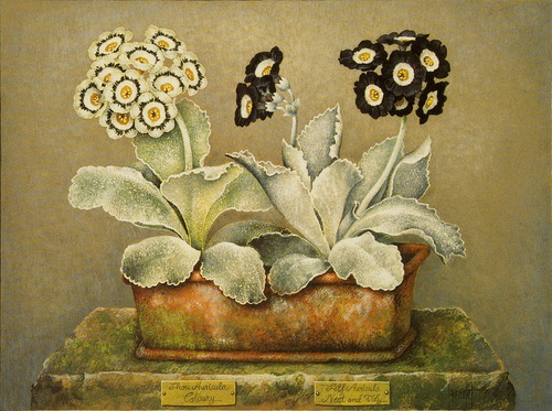 Show auricula Colbury Neat and Tidy