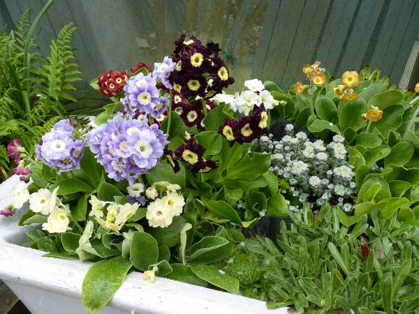 Auriculas in old sink