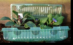 Graines et plantes de barnhaven for Commande plantes par correspondance