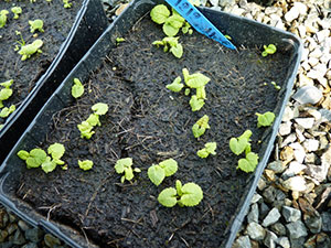 Pricking out primulas