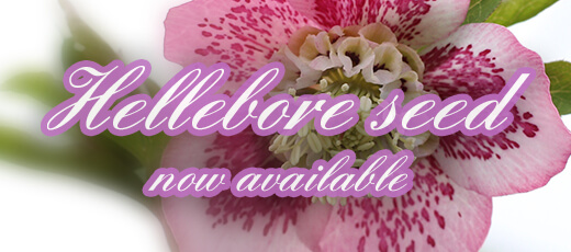 Hellebore seed now available